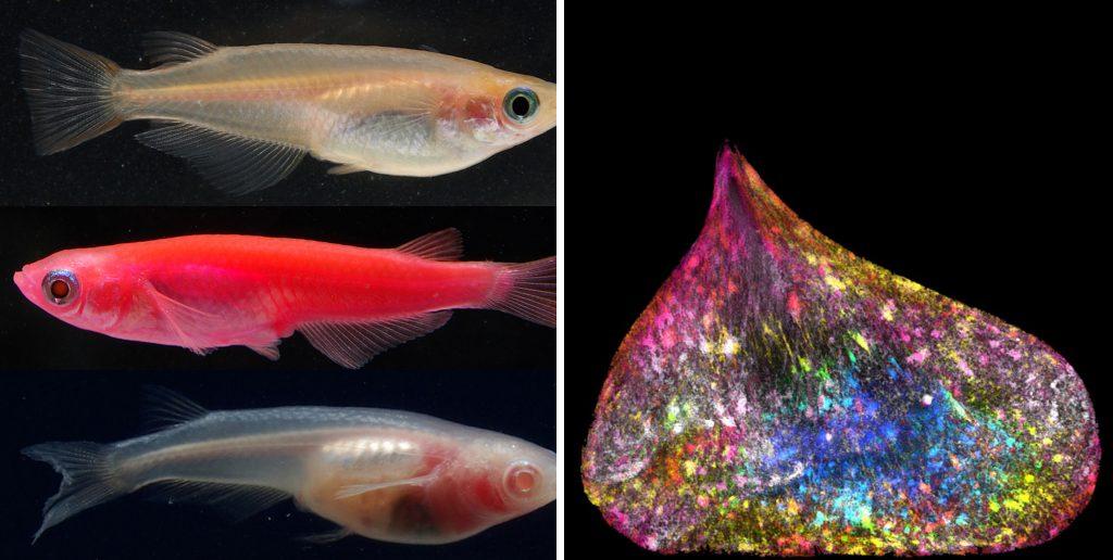 Слева — японские пресноводные рыбы являются одним из немногих живых существ, которые присоединились к клубу преодолевших высоту в 200 миль, и являются первыми видами, которые смогли рожать в космосе. Справа — ядро одной из дочерних клеток в ходе процесса митоза и расщепления на две части.